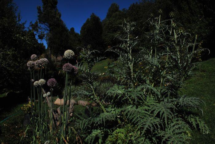 Alcauciles y verdeos en Flor